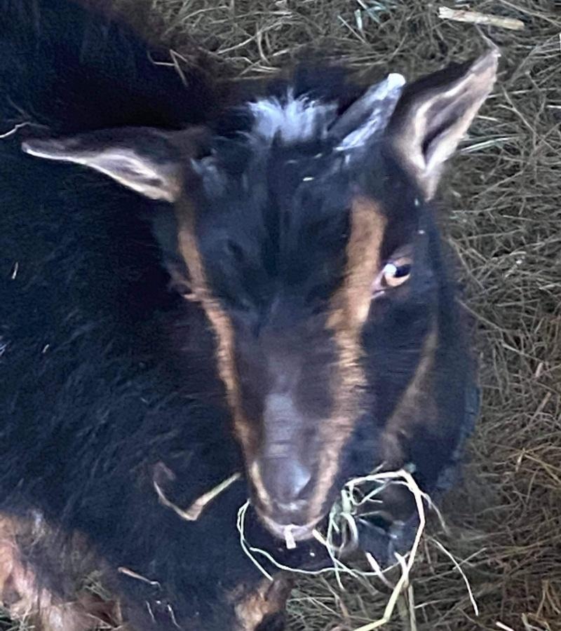 Goat Yoga Alberta B.B. King