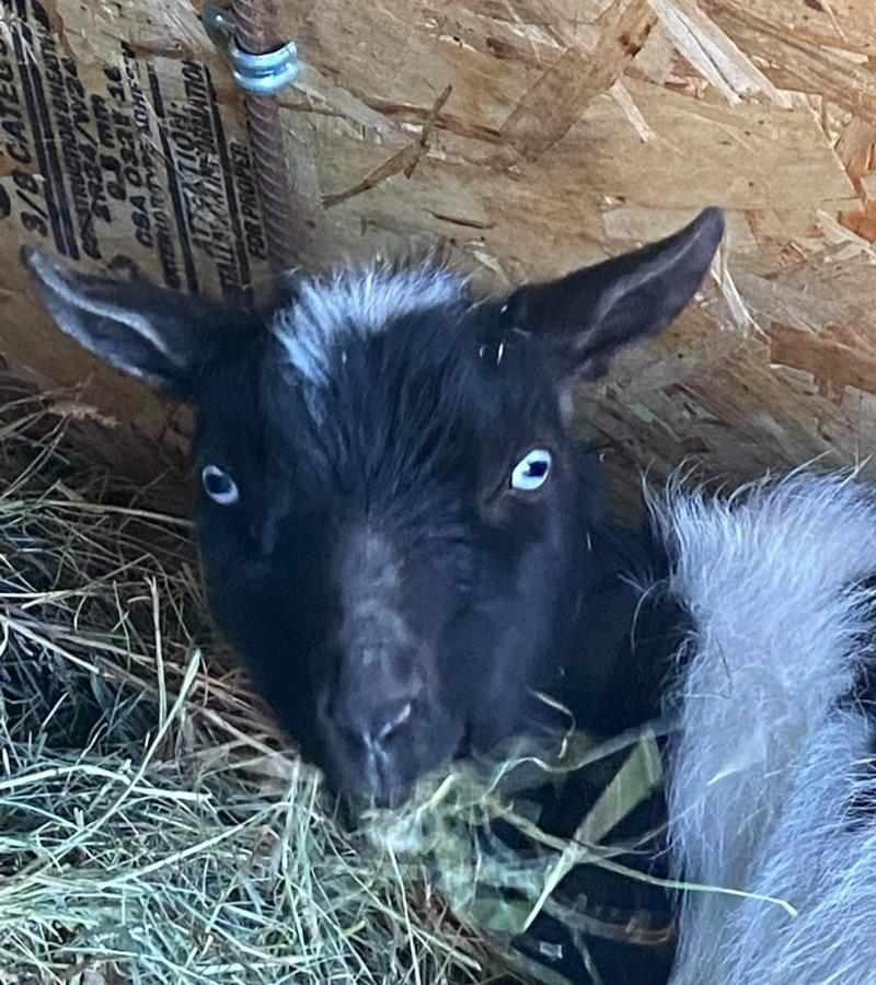 Goat Yoga Alberta Flea